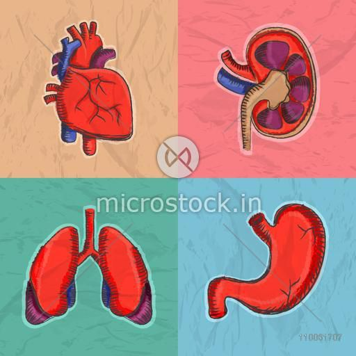 Colorful set of internal human organs as heart, kidney, lungs and stomach for Health and Medical.