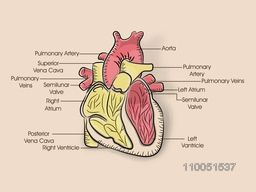 Structure of a colourful human heart with its parts description.