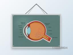 Structure of a human eye with its parts description on hanging board.